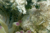 Giant Anemone with Pederson Cleaning Shrimp