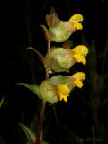 Yellow Rattle: Rhinanthus minor with spider