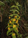 Whorled Loosestrife: Lysimachia quadrifolia