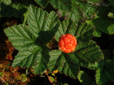 Cloudberry a.k.a. Baked Apple Berry: Rubus chamaemorus