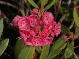 Sheep Laurel: Kalmia angustifolia