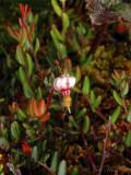 Small Cranberry: Vaccinium oxycoccus