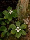 Bunchberry: Cornus canadensis