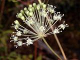 Bristly Sarsaparilla: Aralia hispida
