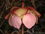 Decumbent Pitcher Plant: Sarracenia rosea