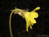Yellow Butterwort: Pinguicula lutea