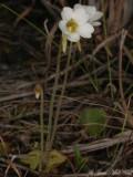 Small Butterwort: Pinguicula pumila