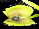 Venus Flytrap: Dionaea muscipula leftovers