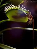 Venus 'Lizardtrap' with Anole: Dionaea muscipula
