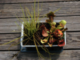 Drosera filiformis var. tracyi and Sarracenia rosea