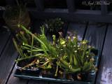Sarracenia collection