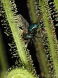 Green Bottlefly caught on Threadleaf Sundew (Drosera filiformis var. tracyi)