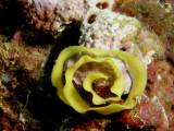 Egg string of Hypselodoris apolegma (Yonow, 2001)