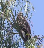 Hawk, Red Tail