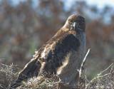 Red Tail Hawk on low bush