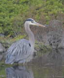 Heron, Breeding Plumage