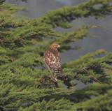 Hawk, Red Shouldered?