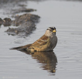 White Crowned Sparrow Bathing