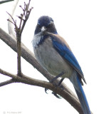 WebScrubJay2-.jpg