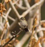 Juvenile Hummingbird, Anna's (?)