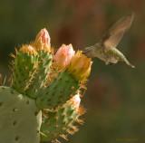 Hummer feeding on cactus