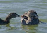 Dad feeding chick