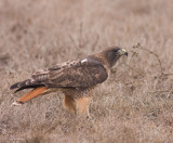 Red Tail Hawk with prey