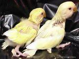 Baby Peach-faced Lovebirds