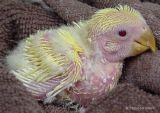 Baby Lutino Peach-faced Lovebird