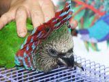 Hawkhead In Pet Store