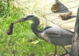Great Blue Heron Eats Chipmunk