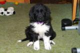 Sophie 9 Weeks Old