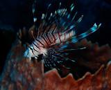 Lionfish 1.jpg