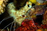 Cuttlefish, consuming Banded Cleaner Shrimp