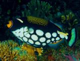 Clown Tiggerfish.jpg