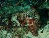 Cuttlefish.jpg