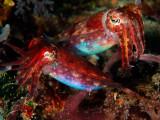 Cuttlefish pair 2.jpg