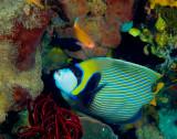 Emporer Angelfish.jpg