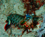 Mantis Shrimp.jpg