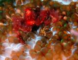 Orangatang Crab 2.jpg