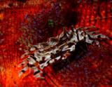 Zebra Crab 8.jpg