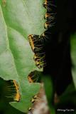 (Delias hyparete metarete)Painted Jezebel caterpillar