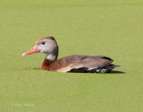 Black-bellied Whistling-Duck-4.jpg