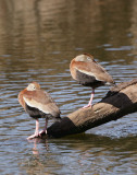 Black-bellied Whistling-Duck-1.jpg