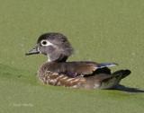 Wood Duck-6.jpg