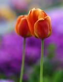 Rosso Tulipano