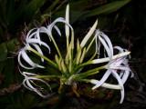JPG CS Swamp Lily (Crinum americanum) P4071045.jpg