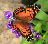 American Painted Lady-Recto