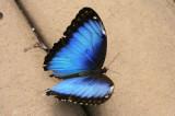 Blue Morpho-Recto(upperside)