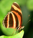 Banded-Orange.jpg